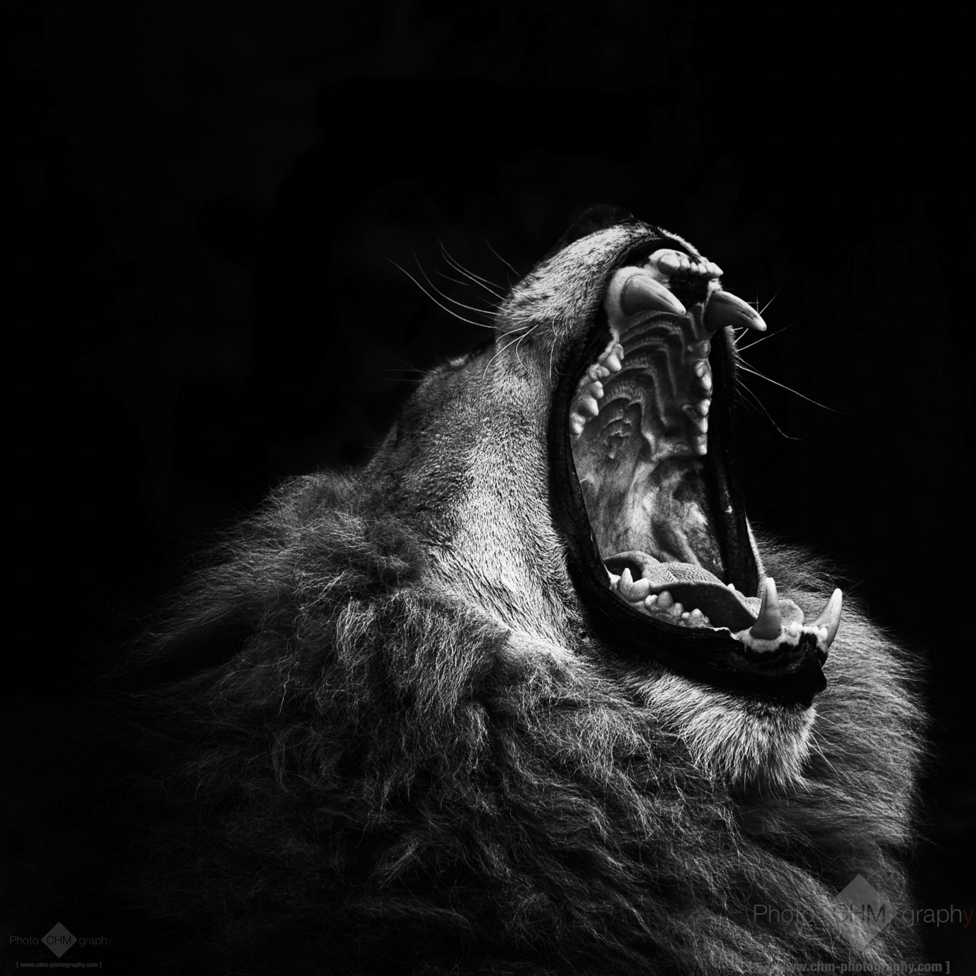 primal yawn lion 3 chm photography