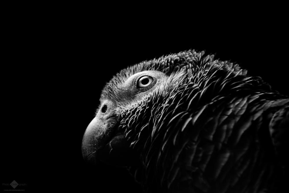 Grey Parrot #7