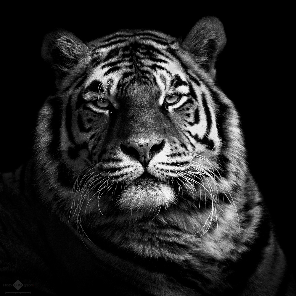 tiger #1 - chm-photography