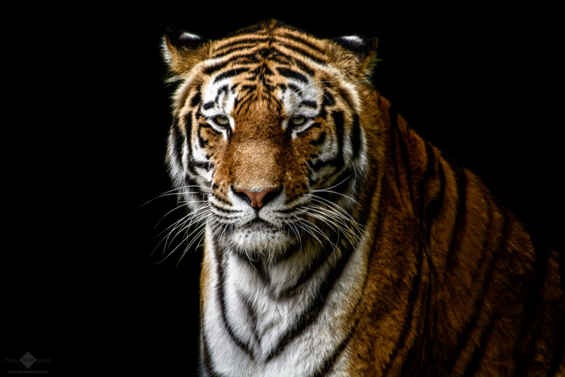 The Tiger– A portrait of a tiger on black background