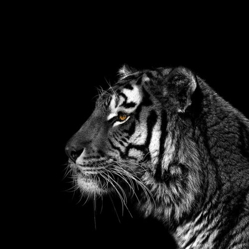 Monochrome Tiger Portrait