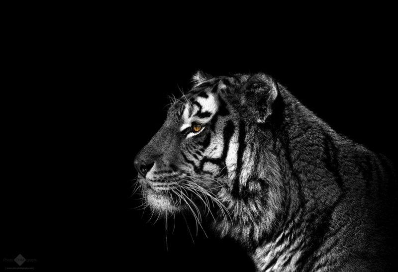 Monochrome Tiger Portrait