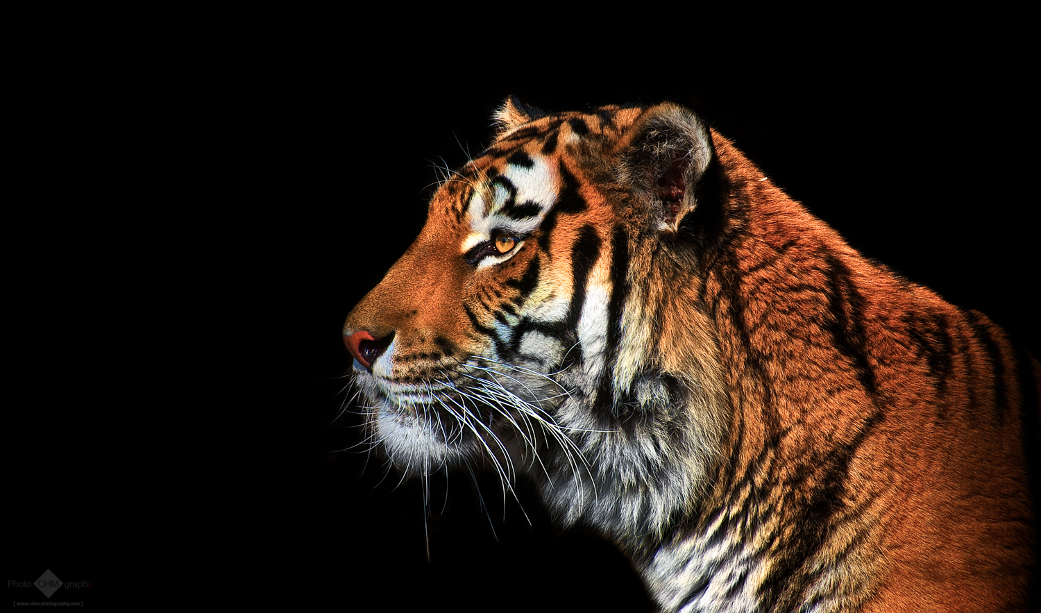 tiger portrait on black background - chm-photography