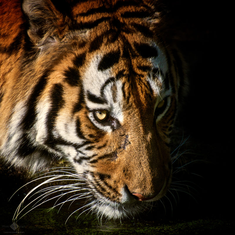 Drinking Tiger Portrait