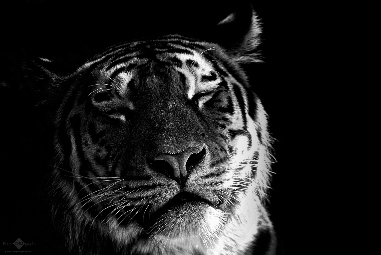 e77904ec5 Portrait of a cute tiger in black & white saying,