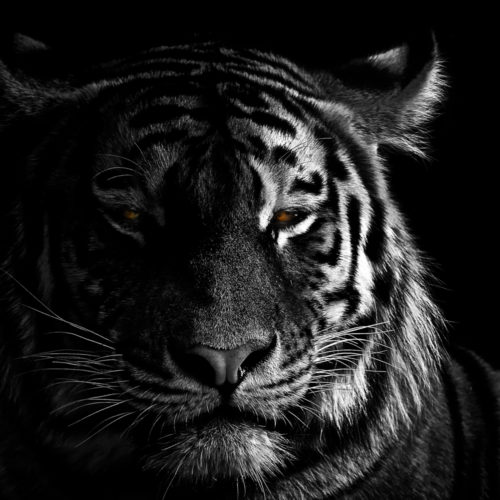 A portrait of a tiger on black background, lit from the side, with colorful eyes.