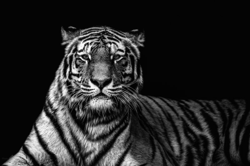 Tiger in Black & White – A monochrome portrait of a Tiger on black background