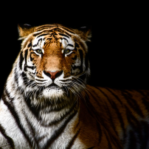 Tiger Sphinx – A portrait of a Tiger on black background