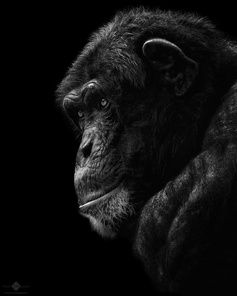 The Chimp