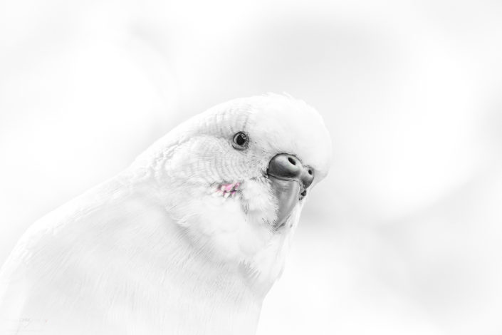 Budgie (Monochrome Version)