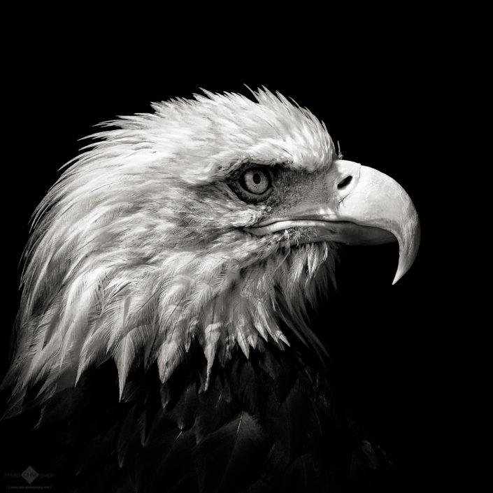 Bald Eagle #6
