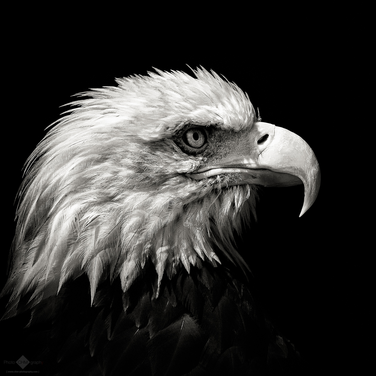 eagle birds bald photographs fine lion chm roaring christian reserved rights prints request
