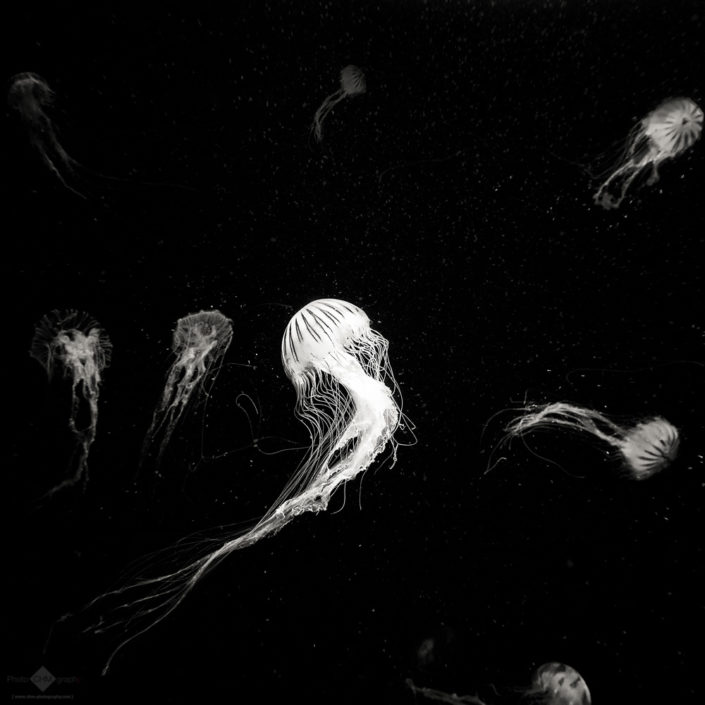 Dance of the Jellyfish #2