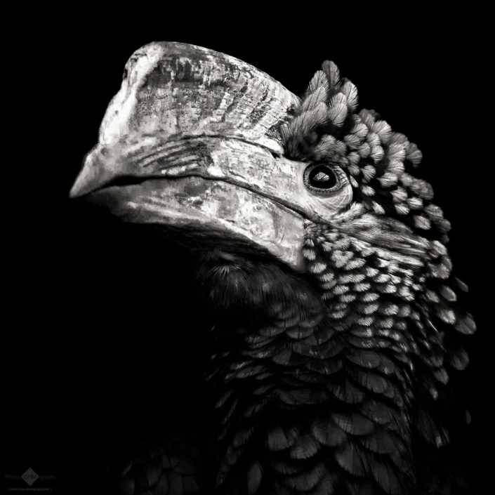 Silvery-Cheeked Hornbill38