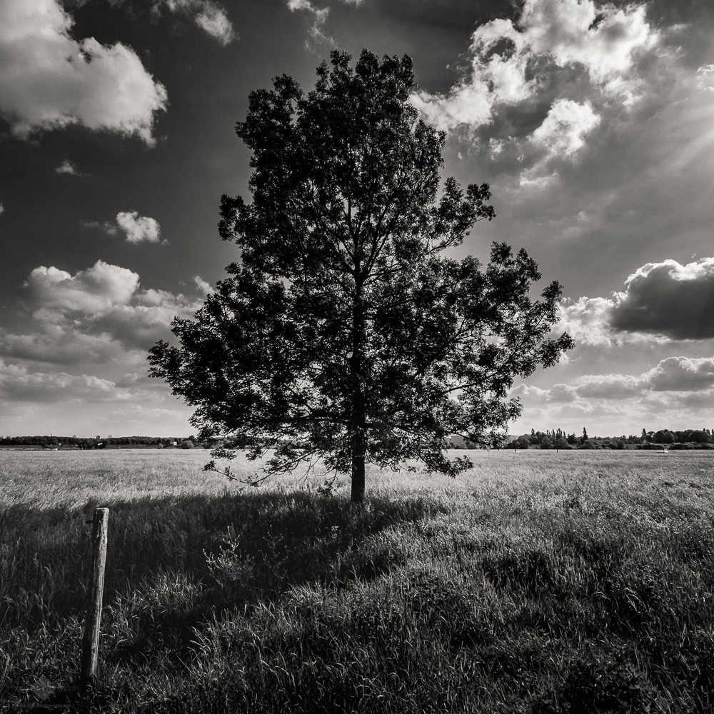 Tree in the Field #3