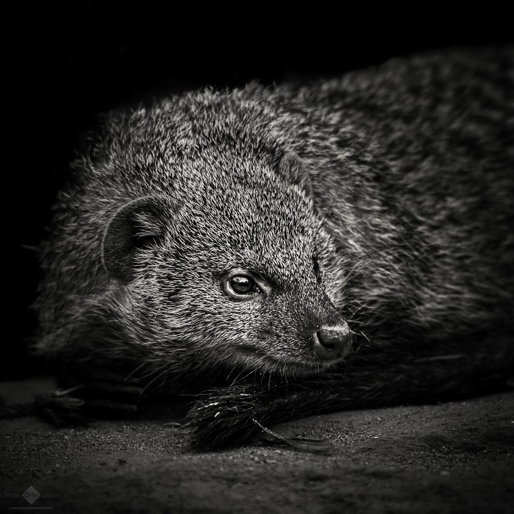 Ethiopian Dwarf Mongoose