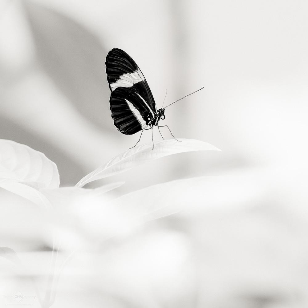 Postman Butterfly (Heleconius Melpomene)