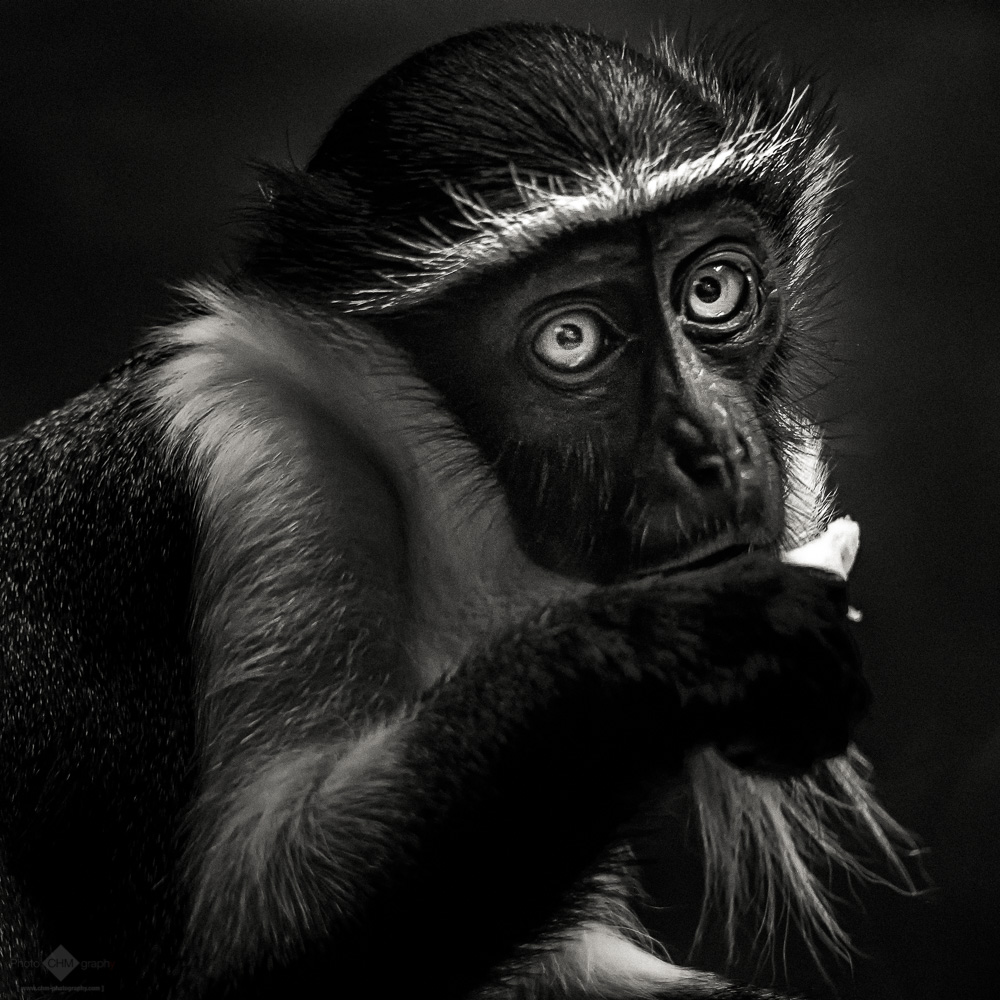King Colobus Monkey #2