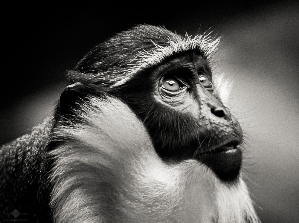 King Colobus Monkey
