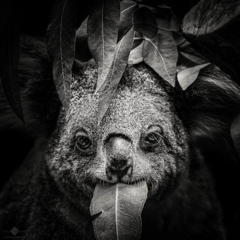 Koala #7